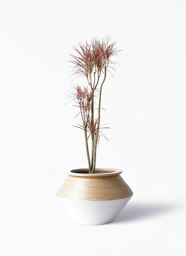 観葉植物 ドラセナ コンシンネ レインボー 8号 ストレート アルマジャー 白 付き