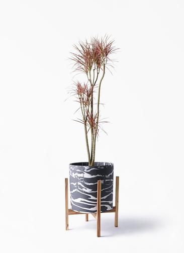 観葉植物 ドラセナ コンシンネ レインボー 8号 ストレート ホルスト シリンダー マーブル ウッドポットスタンド付き
