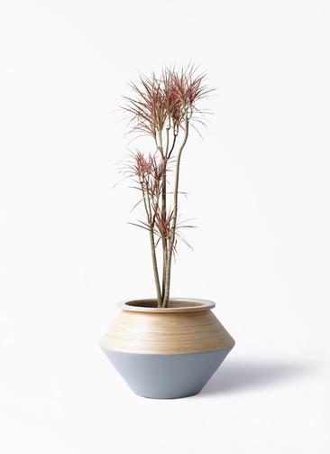 観葉植物 ドラセナ コンシンネ レインボー 8号 ストレート アルマジャー グレー 付き