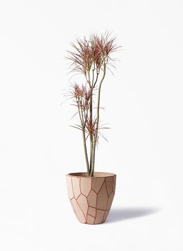 観葉植物 ドラセナ コンシンネ レインボー 8号 ストレート ウィスク 付き