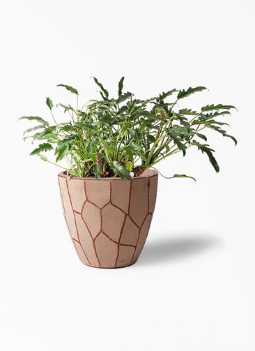 観葉植物 クッカバラ 6号 ウィスク 付き