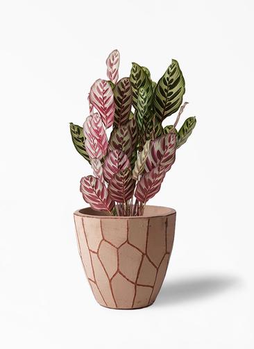 観葉植物 カラテア マコヤナ 6号 ウィスク 付き