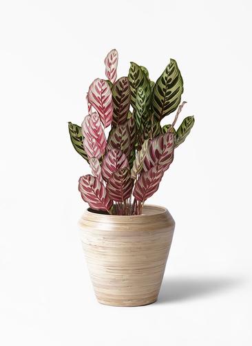 観葉植物 カラテア マコヤナ 6号 アルマ ミドル 付き