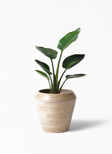 観葉植物 オーガスタ 6号 アルマ ミドル 付き
