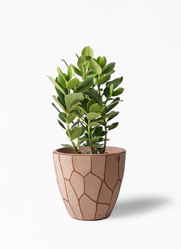 観葉植物 クルシア ロゼア プリンセス 6号 ウィスク 付き