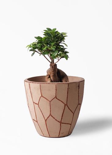 観葉植物 ガジュマル 6号 股仕立て ウィスク 付き