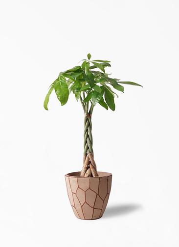 観葉植物 パキラ 6号 ねじり ウィスク 付き
