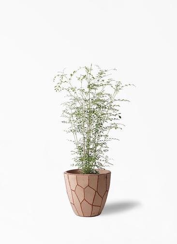 観葉植物 シマトネリコ 6号 ウィスク 付き