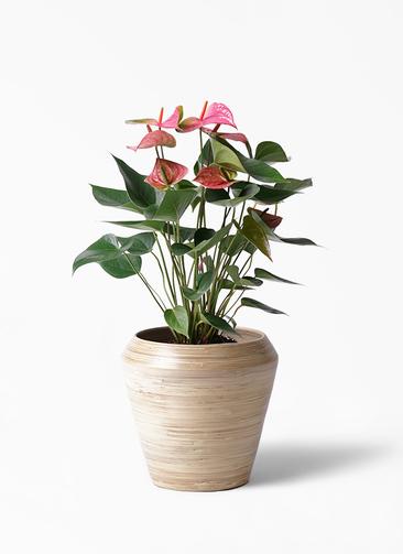 観葉植物 アンスリウム 6号 アルマ ミドル 付き