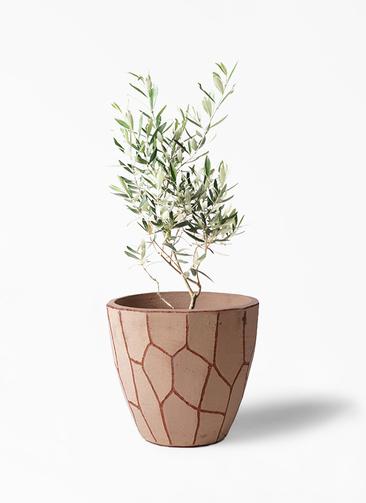 観葉植物 オリーブの木 6号 チプレッシーノ ウィスク 付き