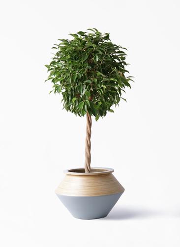 観葉植物 フィカス ベンジャミン 8号 玉造り アルマジャー グレー 付き