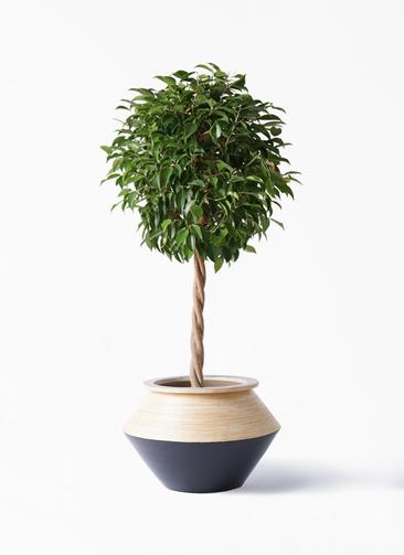 観葉植物 フィカス ベンジャミン 8号 玉造り アルマジャー 黒 付き