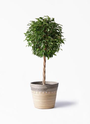 観葉植物 フィカス ベンジャミン 8号 玉造り アルマ コニック 白 付き