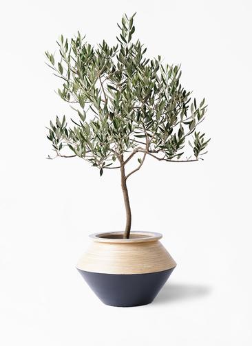 観葉植物 オリーブの木 8号 ハーディーズマンモス アルマジャー 黒 付き