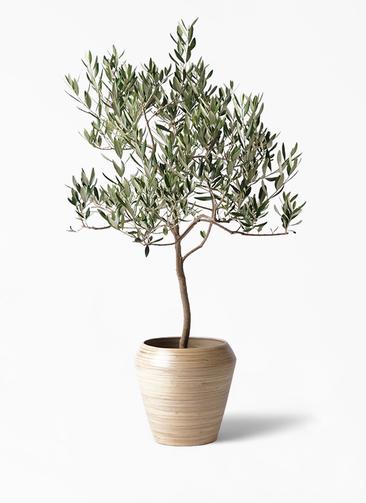 観葉植物 オリーブの木 8号 ハーディーズマンモス アルマ ミドル 付き