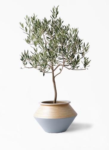 観葉植物 オリーブの木 8号 ハーディーズマンモス アルマジャー グレー 付き