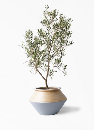 観葉植物 オリーブの木 8号 デルモロッコ アルマジャー グレー 付き