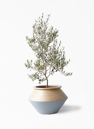 観葉植物 オリーブの木 8号 アルベキーナ アルマジャー グレー 付き
