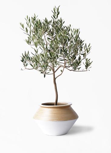 観葉植物 オリーブの木 8号 ハーディーズマンモス アルマジャー 白 付き