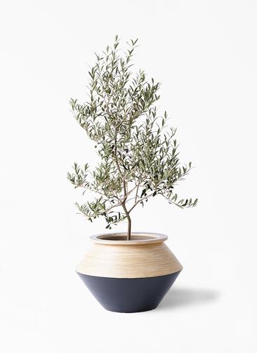 観葉植物 オリーブの木 8号 アルベキーナ アルマジャー 黒 付き
