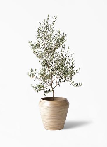 観葉植物 オリーブの木 8号 アルベキーナ アルマ ミドル 付き