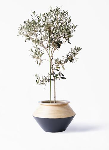 観葉植物 オリーブの木 8号 ワンセブンセブン アルマジャー 黒 付き