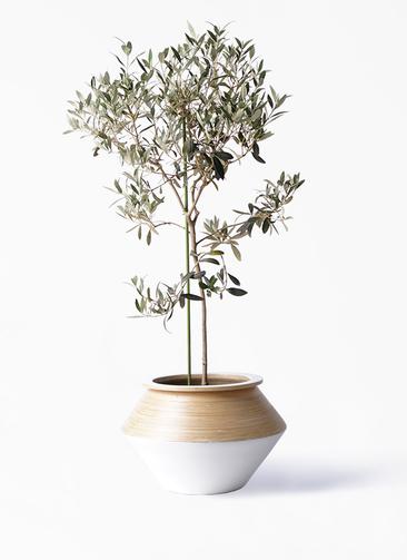観葉植物 オリーブの木 8号 ワンセブンセブン アルマジャー 白 付き