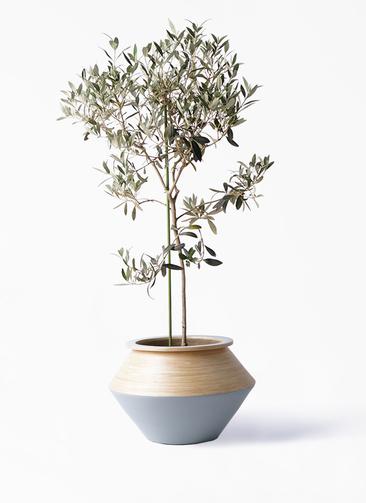 観葉植物 オリーブの木 8号 ワンセブンセブン アルマジャー グレー 付き