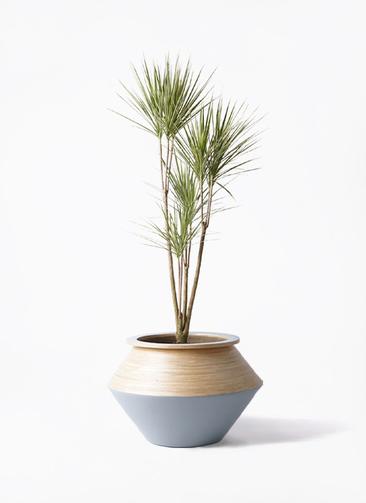 観葉植物 コンシンネ ホワイポリー 8号 ストレート アルマジャー グレー 付き