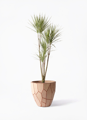 観葉植物 コンシンネ ホワイポリー 8号 ストレート ウィスク 付き