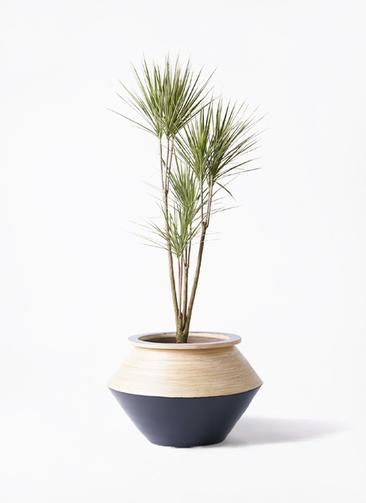 観葉植物 コンシンネ ホワイポリー 8号 ストレート アルマジャー 黒 付き
