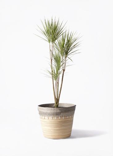 観葉植物 コンシンネ ホワイポリー 8号 ストレート アルマ コニック 白 付き