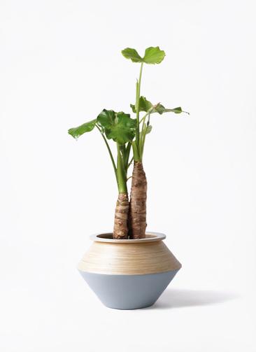 観葉植物 クワズイモ 8号 アルマジャー グレー 付き