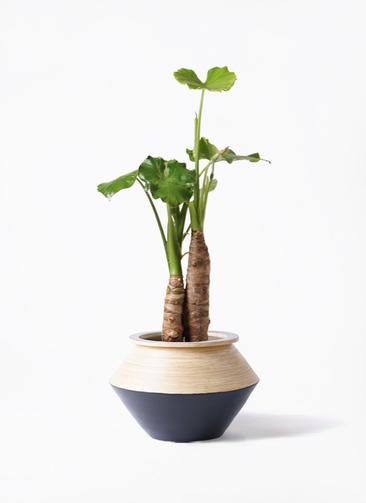 観葉植物 クワズイモ 8号 アルマジャー 黒 付き