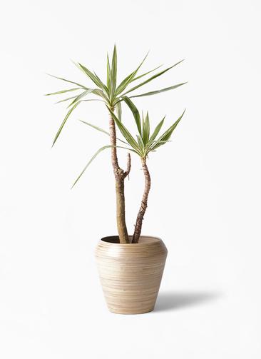 観葉植物 ユッカ 8号 斑入り アルマ ミドル 付き