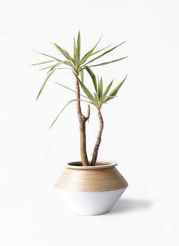 観葉植物 ユッカ 8号 斑入り アルマジャー 白 付き