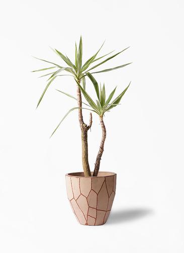 観葉植物 ユッカ 8号 斑入り ウィスク 付き