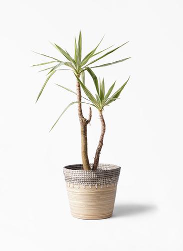観葉植物 ユッカ 8号 斑入り アルマ コニック 白 付き