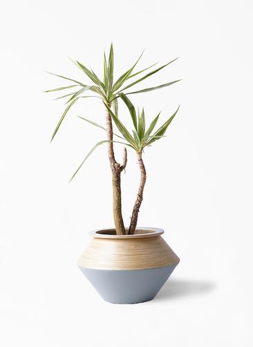 観葉植物 ユッカ 8号 斑入り アルマジャー グレー 付き