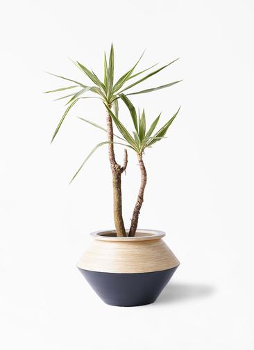 観葉植物 ユッカ 8号 斑入り アルマジャー 黒 付き