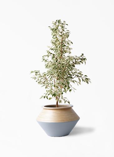 観葉植物 フィカス ベンジャミン 8号 スターライト アルマジャー グレー 付き