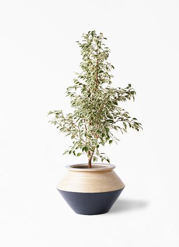 観葉植物 フィカス ベンジャミン 8号 スターライト アルマジャー 黒 付き