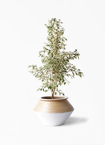 観葉植物 フィカス ベンジャミン 8号 スターライト アルマジャー 白 付き