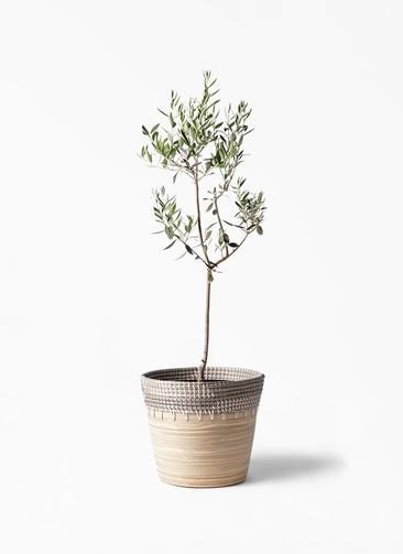 観葉植物 オリーブの木 8号 カラマタ アルマ コニック 白 付き