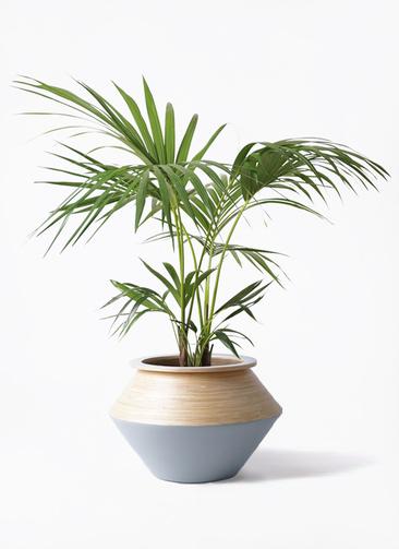 観葉植物 ケンチャヤシ 8号 アルマジャー グレー 付き