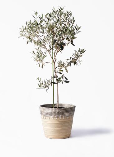 観葉植物 オリーブの木 8号 ワンセブンセブン アルマ コニック 白 付き