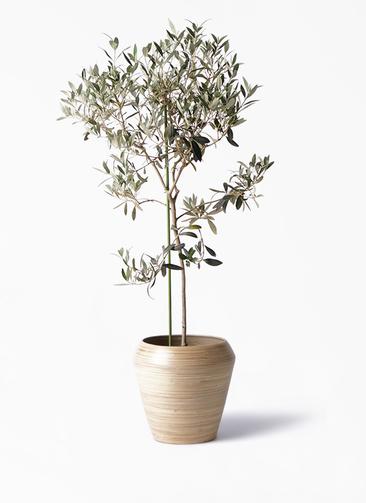 観葉植物 オリーブの木 8号 ワンセブンセブン アルマ ミドル 付き