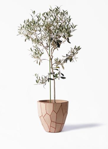 観葉植物 オリーブの木 8号 ワンセブンセブン ウィスク 付き