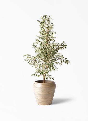 観葉植物 フィカス ベンジャミン 8号 スターライト アルマ ミドル 付き