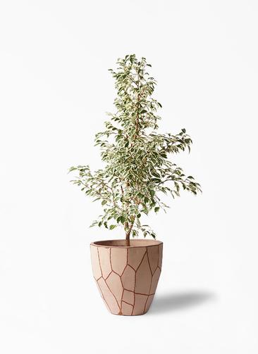 観葉植物 フィカス ベンジャミン 8号 スターライト ウィスク 付き